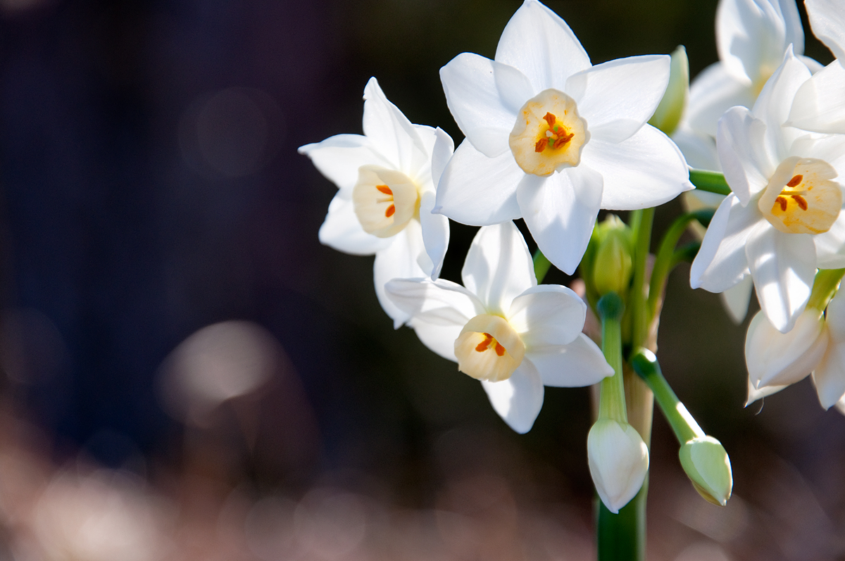 early spring flower blooms of jasmine jonquil and daffodils