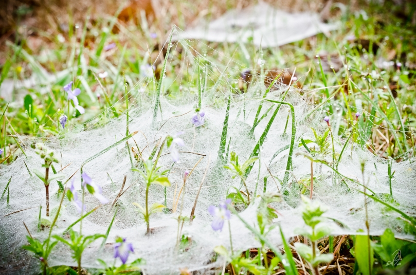 Funnel Web Spider in Dew