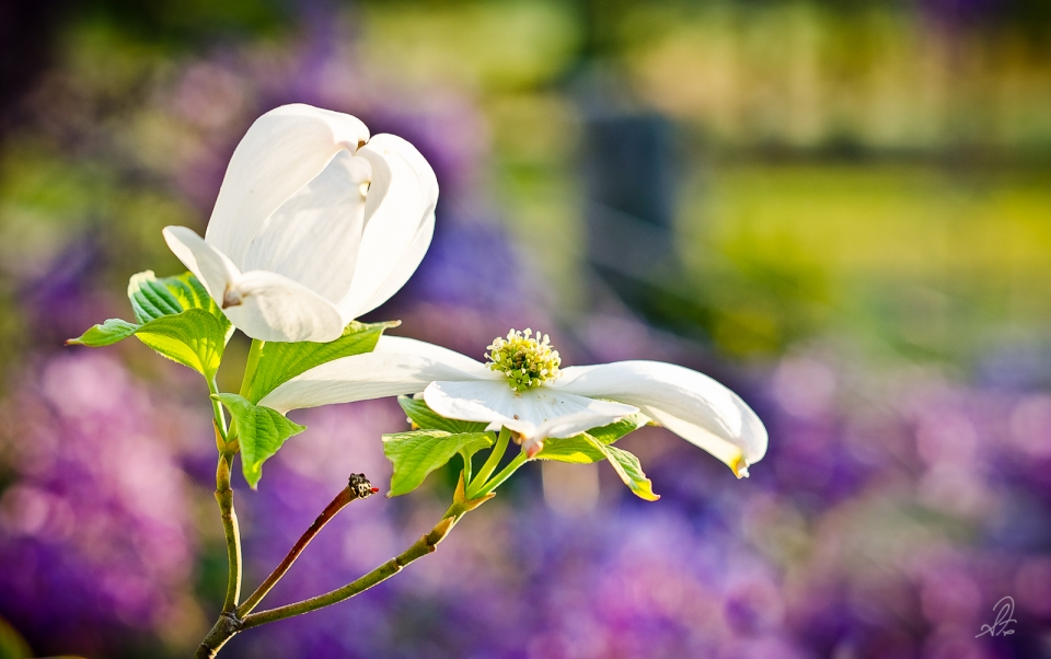 Dogwood Flower Bloom in Spring