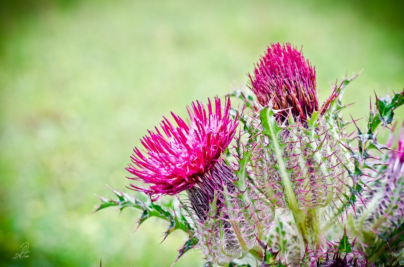 Spring Thistle Weed