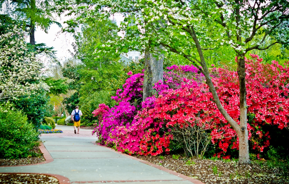 Azaleas on Auburn University Campus