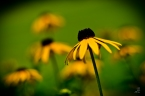 Project 365 [Day 222] Black Eyed Susan Blooms in Summer Heat
