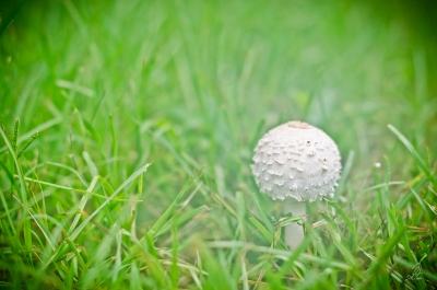 Project 365 [Day 227] Humid Foggy Morning Mushroom in the Pasture