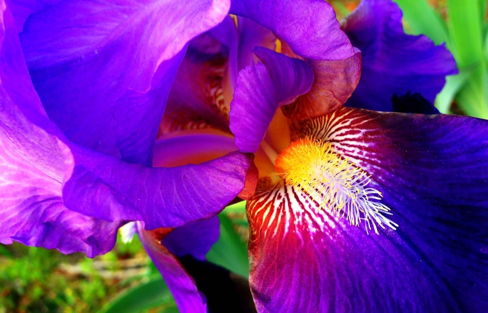 Iris in Bloom in Auburn