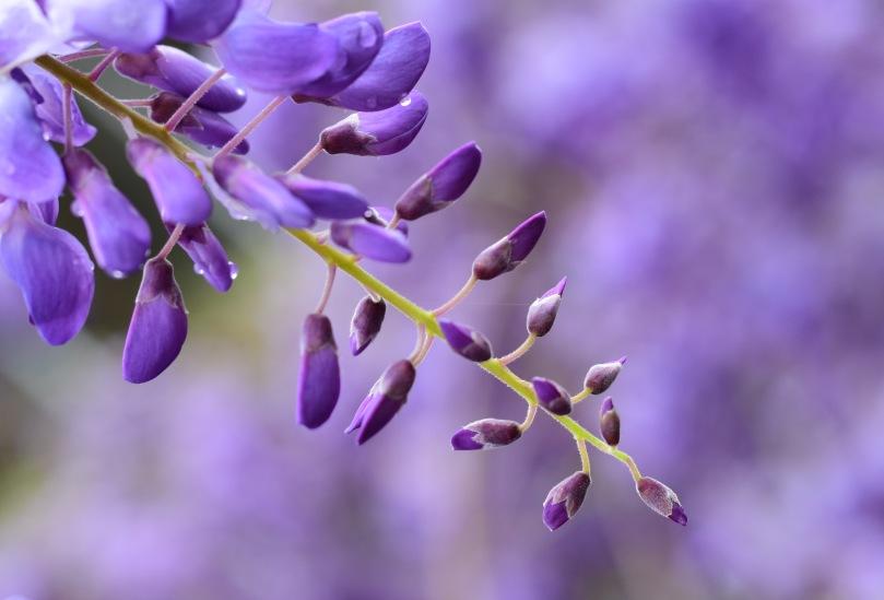 wisteria-spring-2016-a