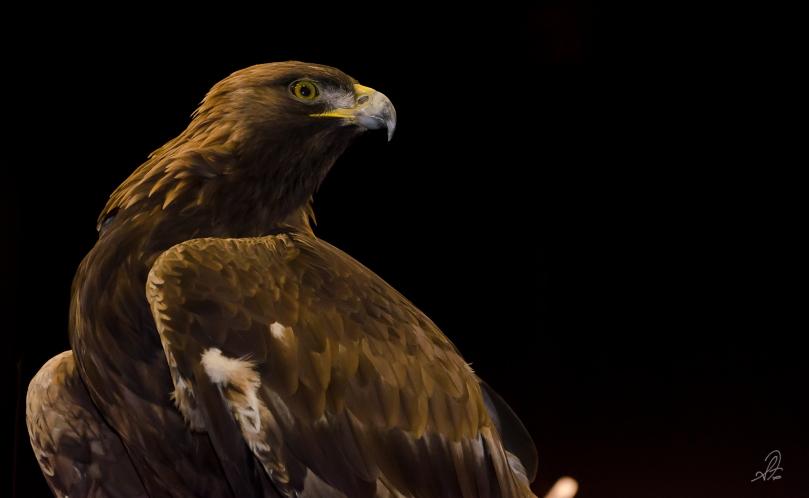 The Golden Eagle Nova